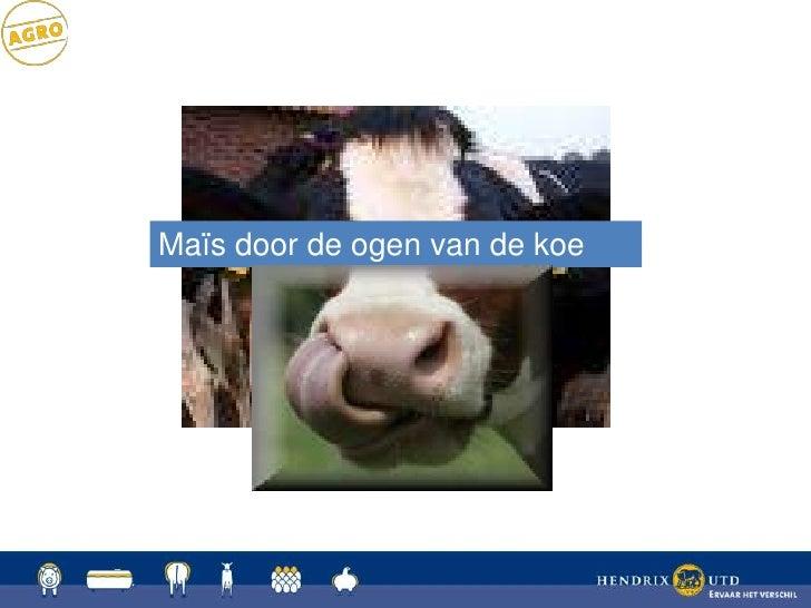 Mais door de ogen van de koe: Dhr. Grootoonk