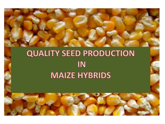 Quality seed production in maize hybrids
