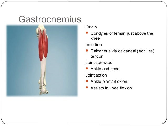 Gastrocnemius Muscle Origin And Insertion Gastrocnemius Muscle O...