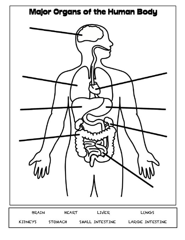 what are the major organs of the human body