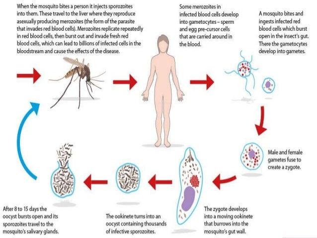 Protozoa - infectionNet
