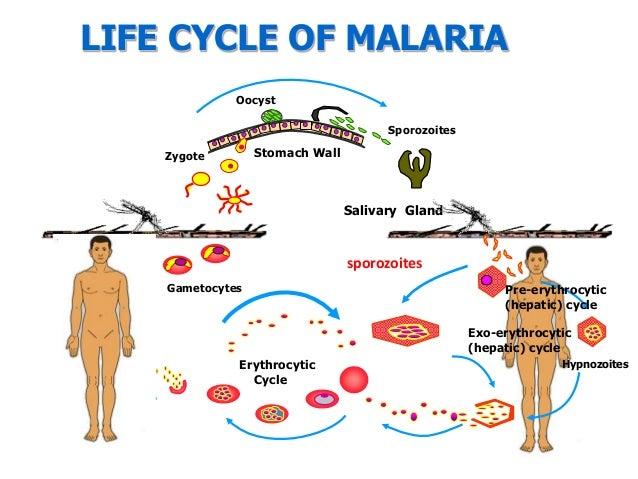 Two Genetic Markers that Predict Malaria Treatment Failure Found