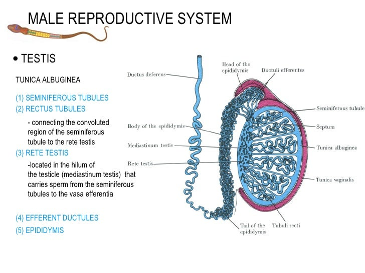 regulation of testicular steroidogenesis