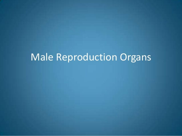 Male Reproduction Organs