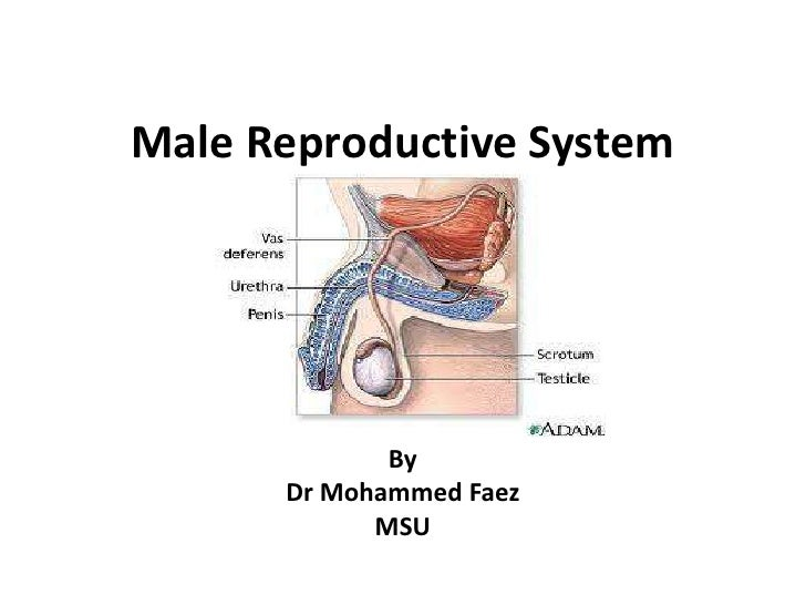 Male Reproductive System<br />By<br />Dr Mohammed Faez<br />MSU<br />