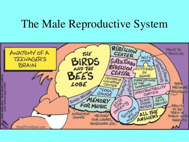 Male reproductive system - MS