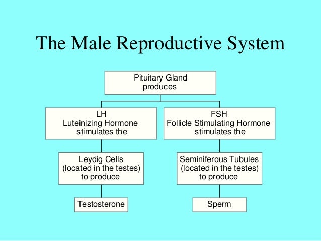 name of male hormone