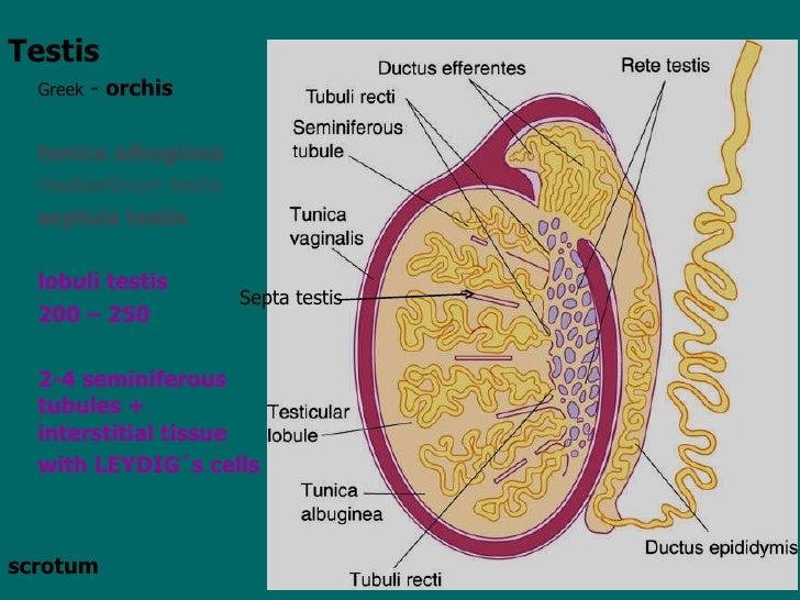 Male anatomy testicles