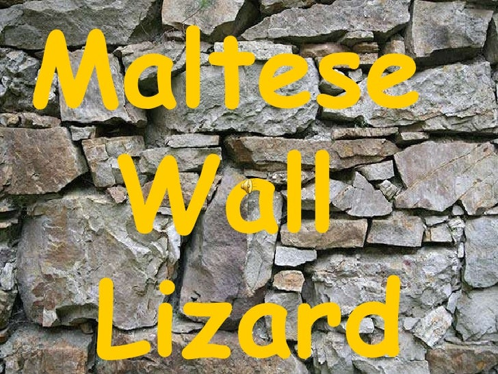 The Maltese Wall Lizard