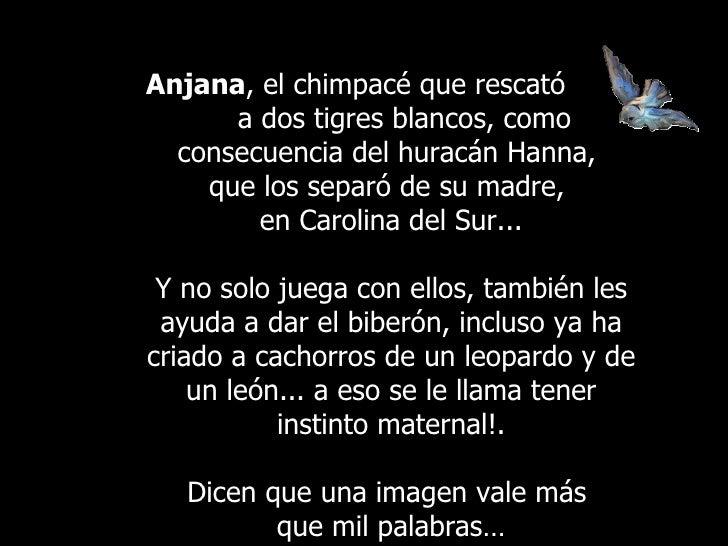 Anjana , elchimpacé que rescató  a dos tigres blancos, como consecuencia del huracán Hanna,  que los separó de su madre, ...