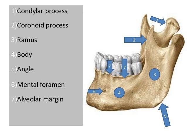 1)Condylar process 2)Coronoid process 3)Ramus 4)Body 5)Angle 6)Mental foramen 7)Alveolar margin 3 46 2 77