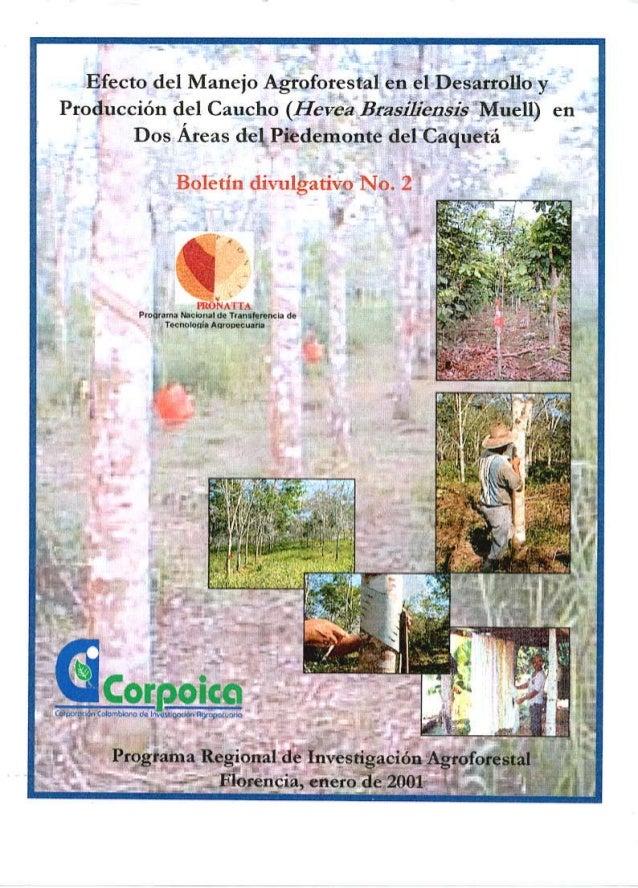 Manejo agroforestal desarrollo y produccion de caucho