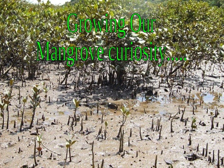 Growing Our Mangrove curiosity.....