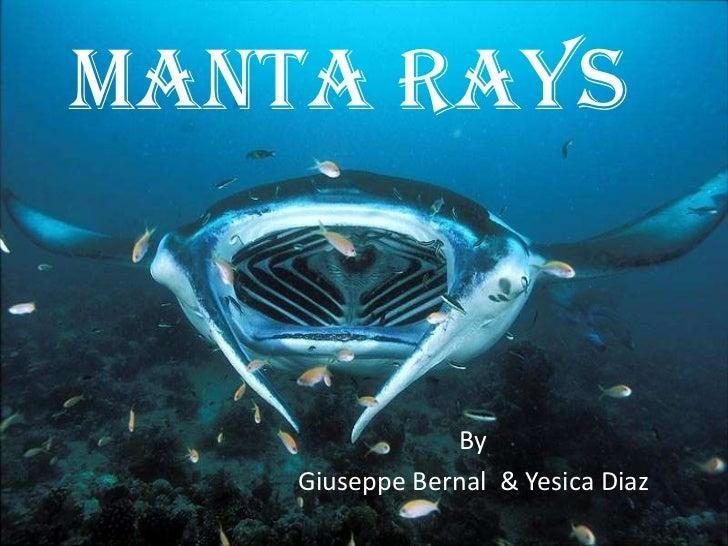 Manta Rays<br />By <br />Giuseppe Bernal  & Yesica Diaz<br />