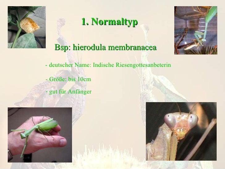 1. Normaltyp Bsp: hierodula membranacea - deutscher Name: Indische Riesengottesanbeterin - Größe: bis 10cm <ul><li>gut für...