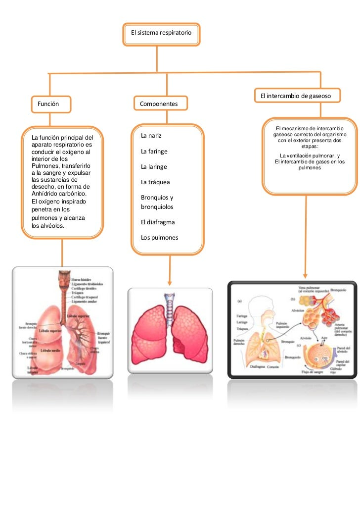 Mapa Conceptual Del Sistema Respiratorio