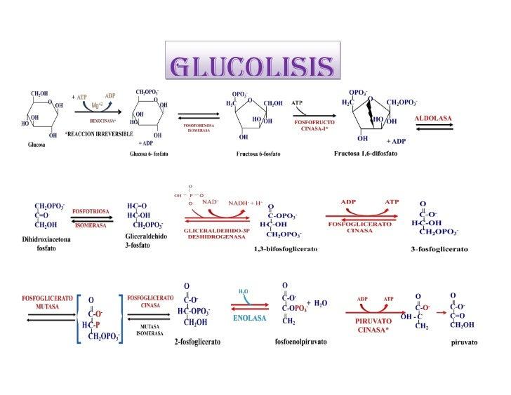 GLUCOLISIS