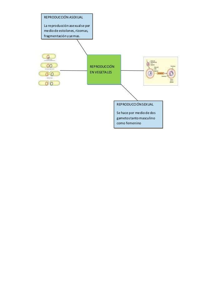 REPRODUCCIÓN EN VEGETALES REPRODUCCIÓN ASEXUAL La reproducciónasexualse por mediode estolones,rizomas, fragmentaciónyyemas...