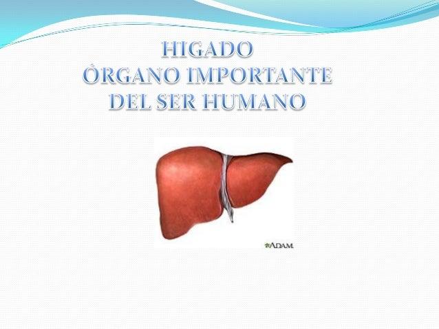 IMPORTANCIA La razón para que el hígado sea de mucha importancia para la bioquímica es debido a que uno mediante esta pued...