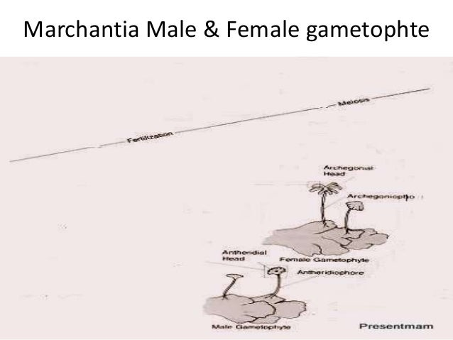 Marchantia Male & Female gametophte