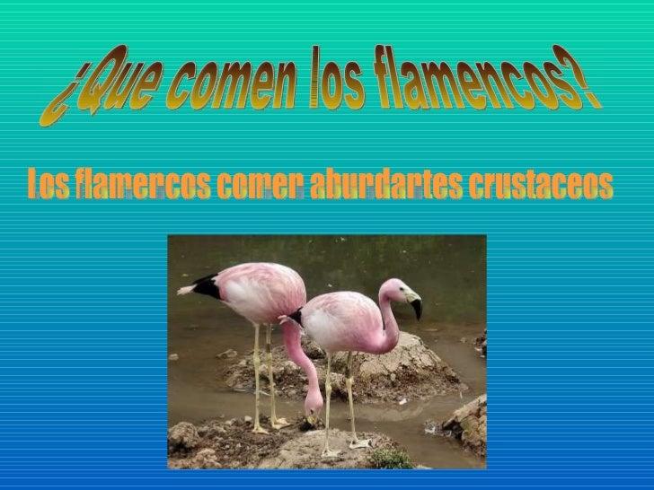 Q Comen Los Flamingos  Que comen los flamencos