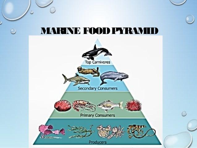 ocean food pyramid - 638×479