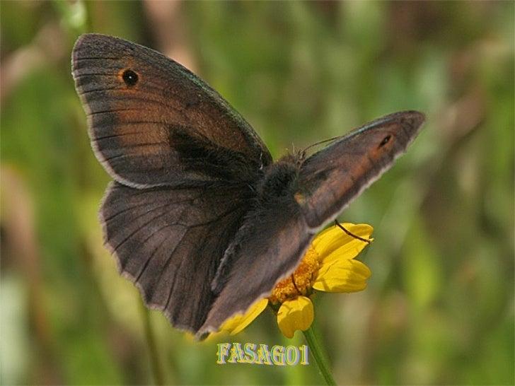 fasago1