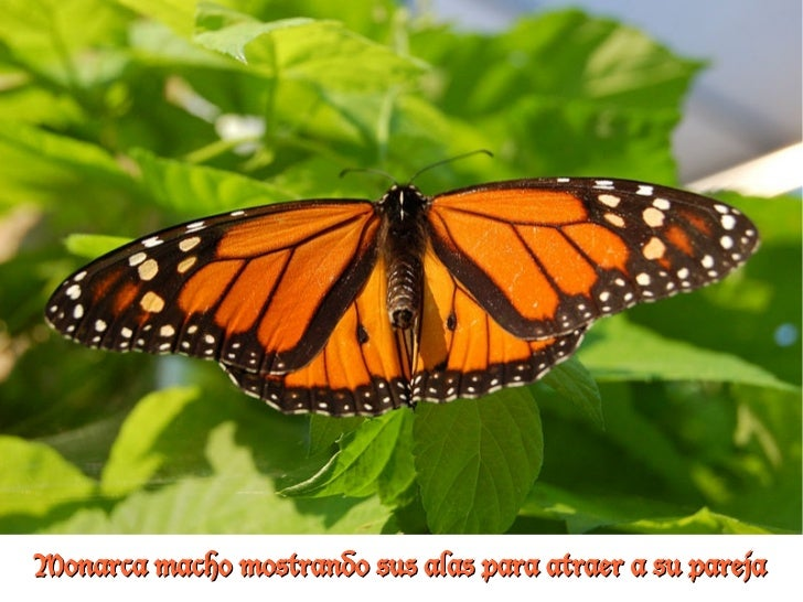 Monarca macho mostrando sus alas para atraer a su pareja