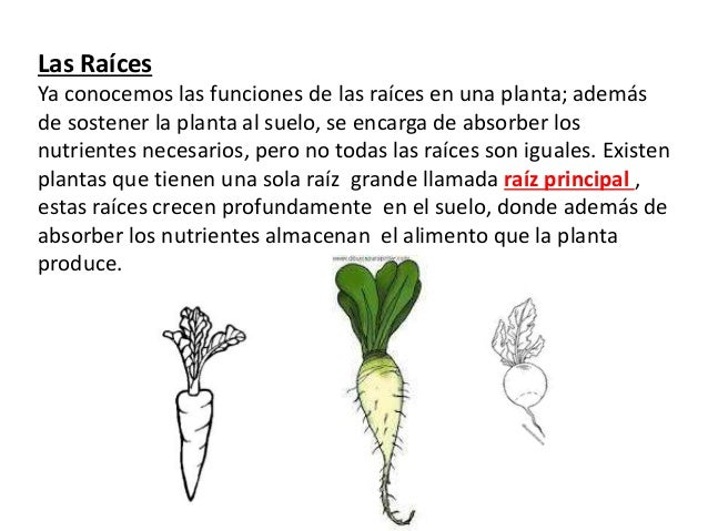 Materia plantas for Las raices chinas se cocinan