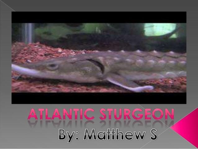 Matt sturgeon