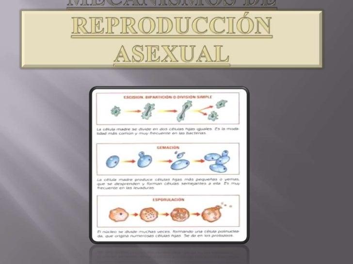 Mecanismos de reproducción asexual