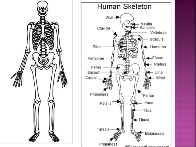 human skeleton year 6 – kefei04, Skeleton