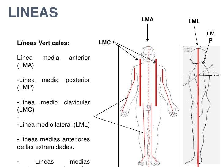 Contemporáneo Anatomía Línea Central De Galería - Anatomía de Las ...