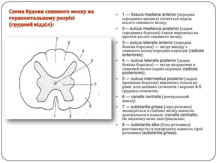 Схема будови спинного мозкуна