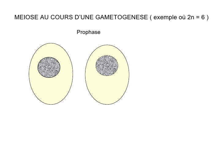 MEIOSE AU COURS D'UNE GAMETOGENESE ( exemple où 2n = 6 ) Prophase