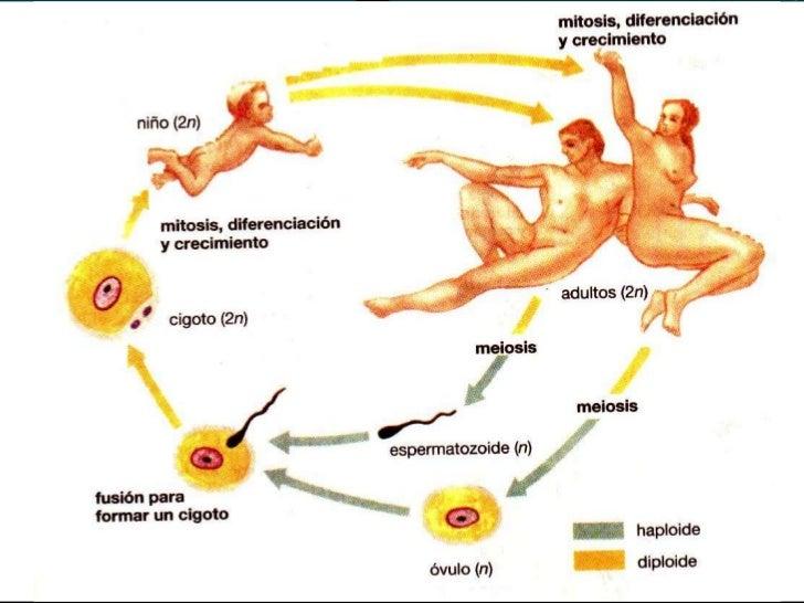 MITOSIS - MEIOSIS                             CROMOSOMA CELULAS GERMINALES                             CROMATIDE GAMET...