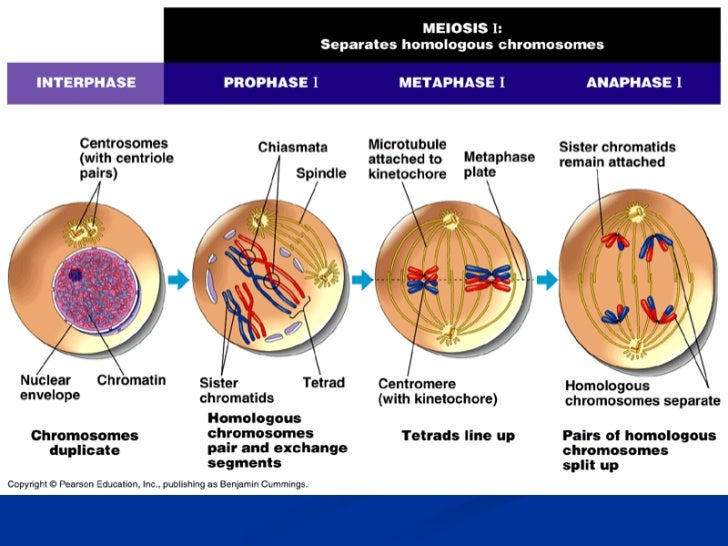 Meiosis 1 Prophase 1 Meiosis 1 Prophase 1