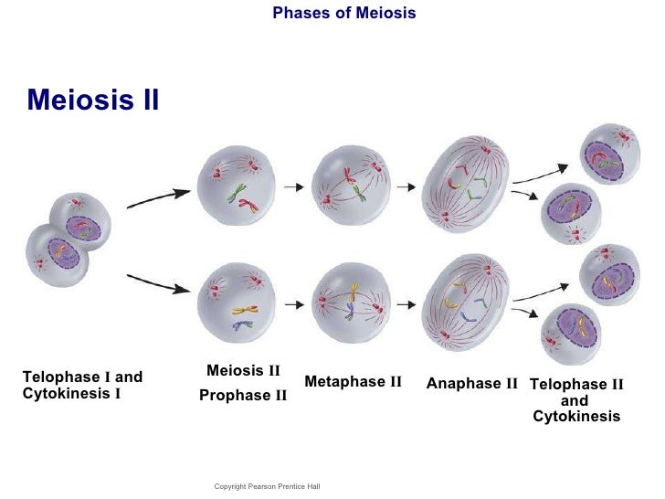 Meiosis 1 Metaphase Anaphase amp Telophase Questions and