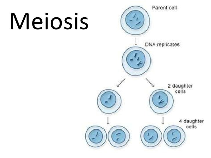 cell mitosis phases Quotes