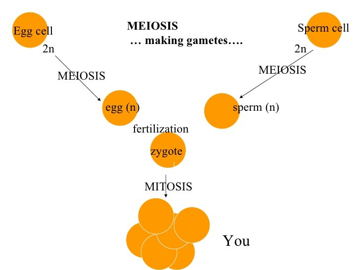 2n 2n   egg (n)  sperm (n)   fertilization zygote Egg cell Sperm cell MEIOSIS MEIOSIS MITOSIS You  MEIOSIS  … making gamet...