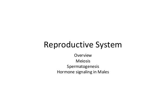 Reproductive System Overview Meiosis Spermatogenesis Hormone signaling in Males