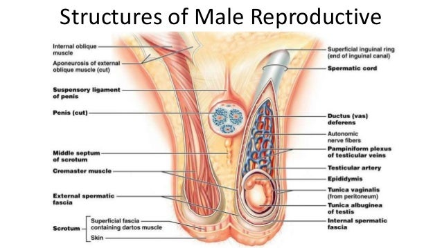 Picture of sperm tract male