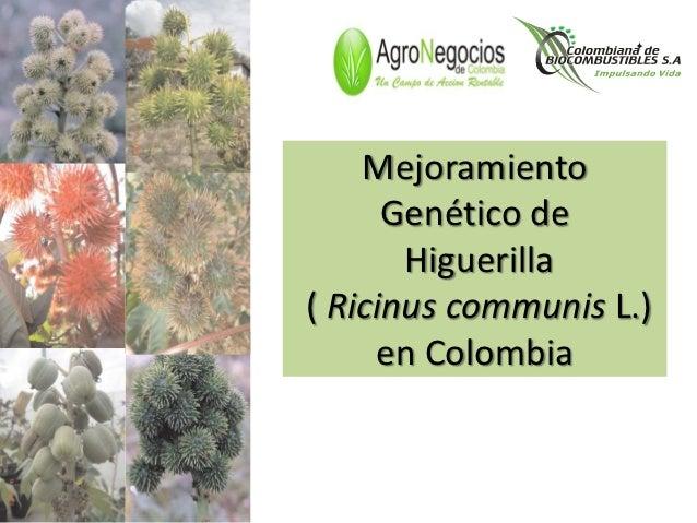 Mejoramiento      Genético de       Higuerilla( Ricinus communis L.)     en Colombia