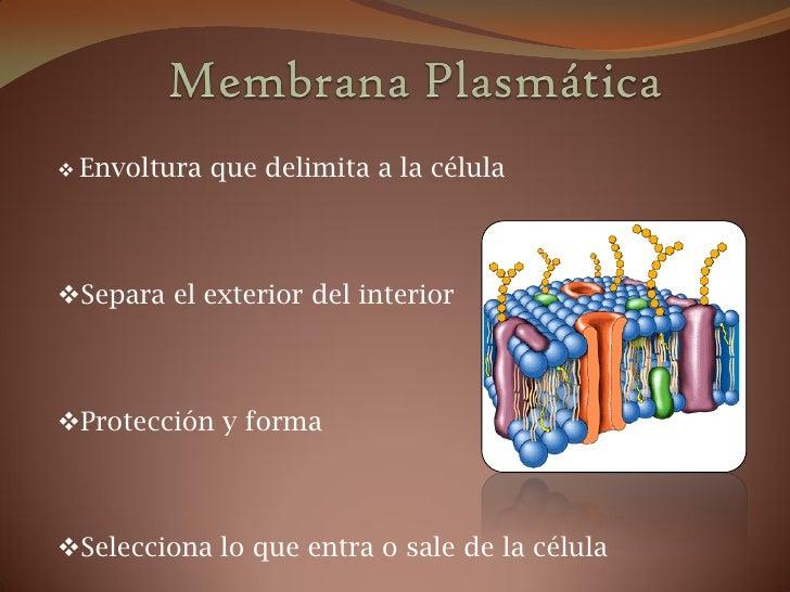  Envoltura   que delimita a la célulaSepara el exterior del interiorProtección y formaSelecciona lo que entra o sale d...