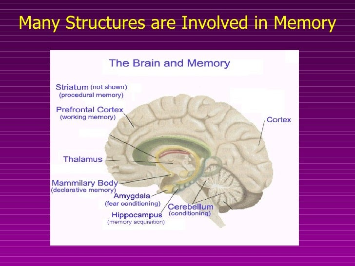 neuroanatomy of and neural processes related to learning and memory Chapter 38 the functional neuroanatomy of learning and memory chapter 39 functional neuroanatomy of language disorders  these processes with references made to.