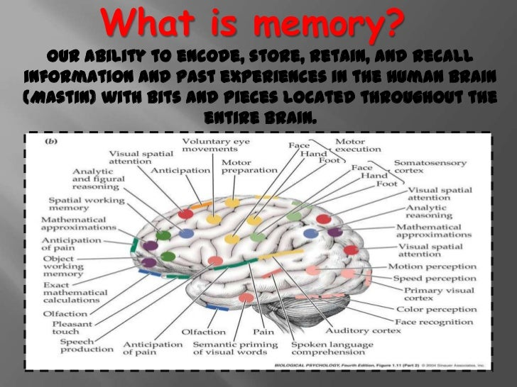 memory storage in the brain essay Apr 6, 2017 — a study of neural circuits that underlie memory consolidation reveals memories are formed simultaneously in the hippocampus and long-term storage location of brain's cortex, with.