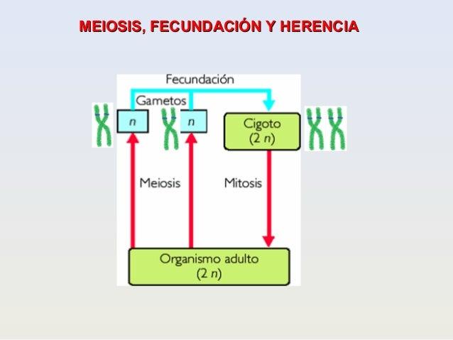 MEIOSIS, FECUNDACIÓN Y HERENCIAMEIOSIS, FECUNDACIÓN Y HERENCIA