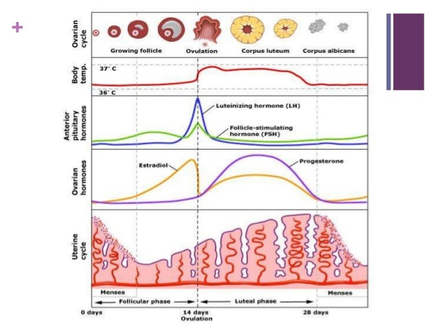 Physiology Of Menstruation