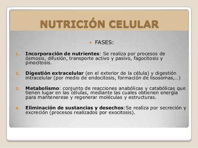 NUTRICIÓN CELULAR                                   FASES:1.   Incorporación de nutrientes: Se realiza por procesos de   ...