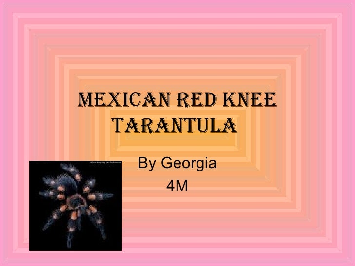 Mexican red knee tarantula  By Georgia 4M